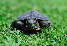gniewny żółw Fotografia Stock
