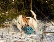 Gniewny agresywny pies drzeje zdobycza (aktywny ruch) Fotografia Royalty Free