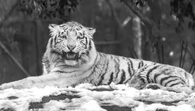 Gniewny biały tygrys Zdjęcia Stock
