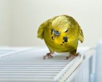 gniewny budgie Zdjęcie Stock