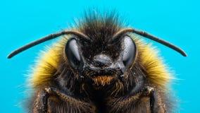 Gniewny Bumblebee Obraz Stock