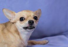 Gniewny chihuahua szczeniak przeciw błękitnemu tłu fotografia royalty free