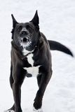 Gniewny czarny pies Obrazy Stock