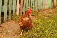 gniewny Czerwony kurczak w jardzie Obrazy Stock