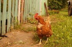 gniewny Czerwony kurczak w jardzie Zdjęcia Royalty Free