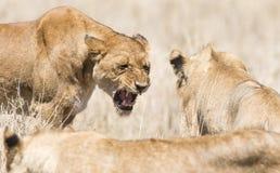 Gniewny dziki lew w Afryka Zdjęcie Royalty Free