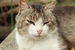 Gniewny, gnuśny, śpiący kot, Obrazy Stock