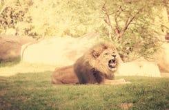 Gniewny huczenie lew Fotografia Royalty Free