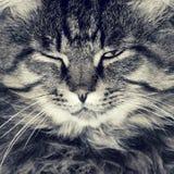 Gniewny i zły pasiasty kot fotografia obrazy stock