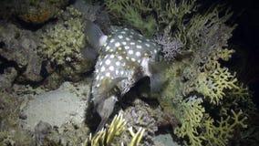 Gniewny jeżatki fishe pływanie na rafie zbiory wideo