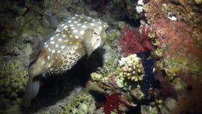 Gniewny jeżatki ryba pływanie na rafie zbiory wideo