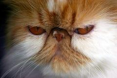 gniewny kot Zdjęcie Royalty Free