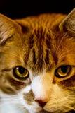 Gniewny kot Fotografia Stock