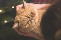 Gniewny kot na rękach zdjęcia stock
