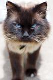 Gniewny kot z niebieskimi oczami obraz royalty free