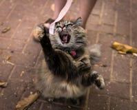 Gniewny kota huczenie podczas gdy próbujący łapać różowego faborek zdjęcia royalty free