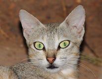 Gniewny kota portret obrazy royalty free