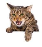 Gniewny kota sztandar obraz royalty free