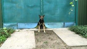 Gniewny kundla pies szczeka głośno i chroni błękitną bramę w jej jarda zbiory