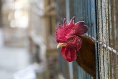 Gniewny kurczak lub karmazynka w klatkach dla bubla w rynku Tortura zdjęcie stock