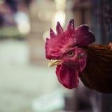 Gniewny kurczak lub karmazynka w klatkach dla bubla w rynku Tortura zdjęcie royalty free