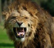 gniewny lew zdjęcie royalty free