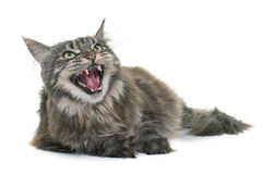 Gniewny Maine coon Obrazy Royalty Free