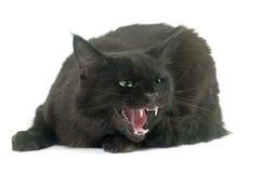 Gniewny Maine coon kot Zdjęcia Stock