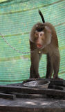 Gniewny makak obraz royalty free