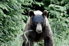 gniewny niedźwiedź Fotografia Stock