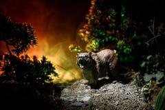 Gniewny niedźwiedź za pożarniczym chmurnym niebem Sylwetka niedźwiedź w mgłowym lasowym ciemnym tle obraz royalty free
