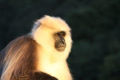 Gniewny pawian patrzeje dla jedzenia Zdjęcie Royalty Free