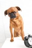 gniewny pies Obrazy Royalty Free