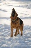 Gniewny pies Zdjęcie Royalty Free