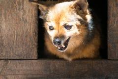 Gniewny pies kundel, uśmiechy jego zęby w budka Obraz Stock