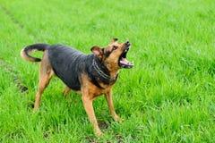 Gniewny pies na zielonej trawie Obrazy Royalty Free