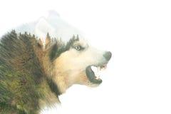 Gniewny pies podwójny narażenia Zdjęcie Royalty Free