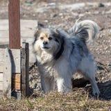 Gniewny pies szczeka blisko domu Fotografia Royalty Free