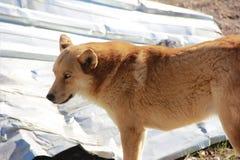 Gniewny pies z czerwonymi włosy i niebieskich oczu spojrzeniami w odległość zdjęcia stock