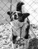 Gniewny pies za ogrodzeniem zdjęcie royalty free