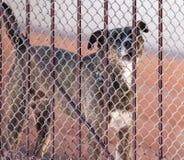 Gniewny pies za ogrodzeniem fotografia royalty free