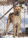 Gniewny pies za ogrodzeniem zdjęcia royalty free