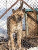 Gniewny pies za ogrodzeniem zdjęcie stock