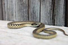 gniewny podwiązka wąż Fotografia Royalty Free