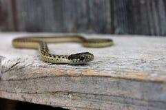 Gniewny podwiązka wąż patrzeje naprzód Obrazy Stock