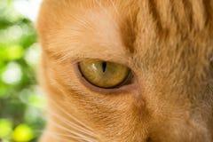 Gniewny Pomarańczowy oko kota spojrzenie przy tobą obraz royalty free
