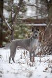 Gniewny popielaty Tajlandzki Ridgeback psa pobyt na śniegu obrazy royalty free