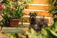 Gniewny przyglądający Schnauzer pies Fotografia Royalty Free