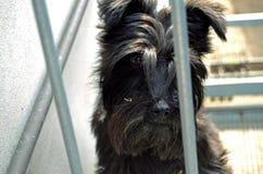Gniewny przyglądający Schnauzer pies Obraz Stock