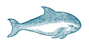 Gniewny przyglądający schronienie morświn w profilowym widoku Ilustracja po dziejowego lub rocznika woodcut od 16th centur Obrazy Royalty Free